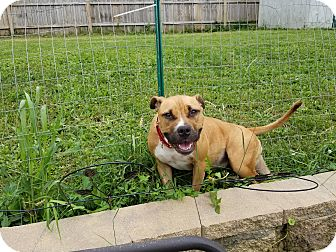 Boxer/American Staffordshire Terrier Mix Dog for adoption in Hainesville, Illinois - Miss Sugar