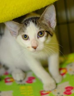 Domestic Shorthair/Domestic Shorthair Mix Cat for adoption in Baton Rouge, Louisiana - Fred Weasley