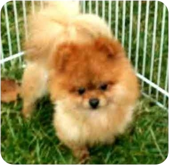 Pomeranian Dog for adoption in Kokomo, Indiana - Retro-Pending!