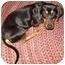 Photo 1 - Dachshund Dog for adoption in Tahlequah, Oklahoma - Mikey
