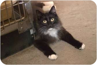 Domestic Longhair Kitten for adoption in New Port Richey, Florida - Melousse