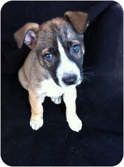 Shepherd (Unknown Type)/Border Collie Mix Puppy for adoption in Windham, New Hampshire - NOBLE