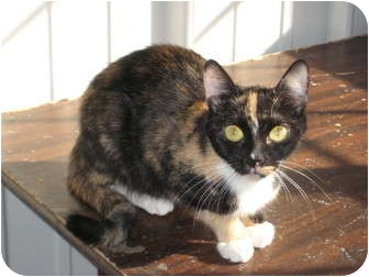 Domestic Shorthair Cat for adoption in Pinehurst, North Carolina - Vivian