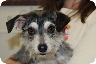 Schnauzer (Miniature)/Terrier (Unknown Type, Small) Mix Dog for adoption in Broomfield, Colorado - Princess