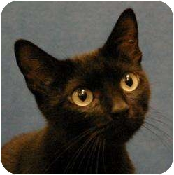 Domestic Shorthair Cat for adoption in Sacramento, California - Darcy