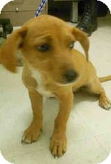 Dachshund Mix Dog for adoption in Yuba City, California - Unnamed