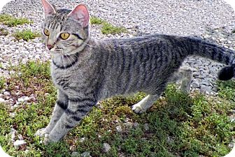 Domestic Shorthair Cat for adoption in Sullivan, Missouri - Cashew