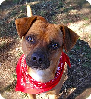 Terrier (Unknown Type, Small)/Pug Mix Dog for adoption in El Cajon, California - Trapper