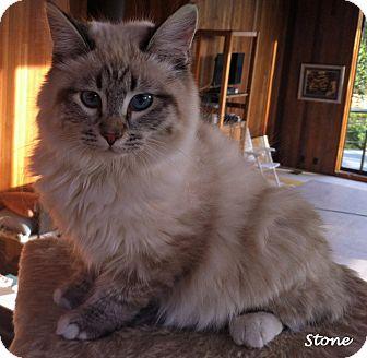 Ragdoll Kitten for adoption in Mandeville Canyon, California - Stone