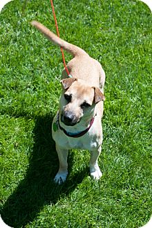 Terrier (Unknown Type, Small) Mix Puppy for adoption in Hastings, New York - Harley