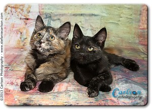 Domestic Shorthair Kitten for adoption in Yorba Linda, California - Melody and Moxie