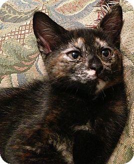 American Shorthair Kitten for adoption in Tampa, Florida - Skittles