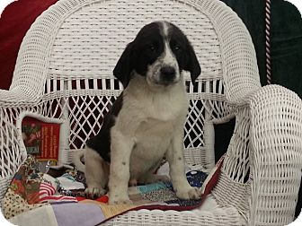 Beagle/Labrador Retriever Mix Puppy for adoption in Linton, Indiana - Jimmy