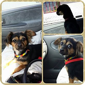 Chihuahua/Papillon Mix Dog for adoption in bridgeport, Connecticut - Sophia