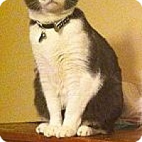 Domestic Shorthair Cat for adoption in Pittstown, New Jersey - Pepper