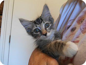 Domestic Shorthair Cat for adoption in Parkton, North Carolina - Kit Kat