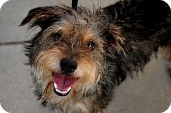 Terrier (Unknown Type, Small) Mix Dog for adoption in Fort Smith, Arkansas - Armani