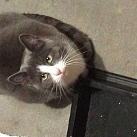 Domestic Shorthair Cat for adoption in Staten Island, New York - Cody