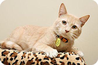 Domestic Shorthair Cat for adoption in Bellingham, Washington - Bee