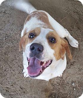 Beagle/Basset Hound Mix Dog for adoption in Freeport, Maine - Reese