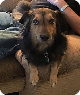 Dachshund/Sheltie, Shetland Sheepdog Mix Dog for adoption in Warsaw, Indiana - Dixie