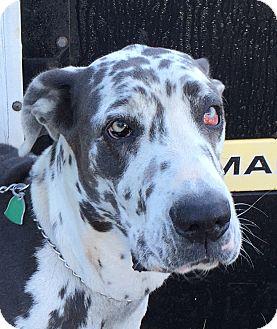 Great Dane Dog for adoption in Austin, Texas - Indi