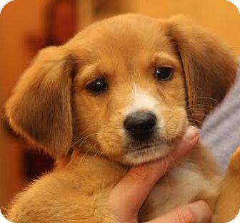 Retriever (Unknown Type) Mix Puppy for adoption in Minneapolis, Minnesota - Crosby
