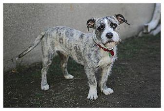 Standard Schnauzer Mix Dog for adoption in Buffalo, New York - Norman
