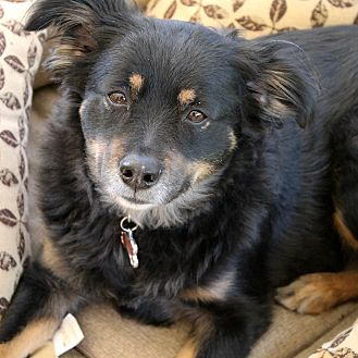 Border Collie Mix Dog for adoption in Santa Clarita, California - MOLLY