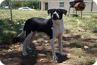 American Bulldog Mix Dog for adoption in Joshua, Texas - Shinzie
