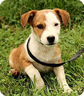 Corgi/Jack Russell Terrier Mix Puppy for adoption in Foster, Rhode Island - Lil Bitt