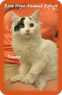 Maine Coon Kitten for adoption in Waterbury, Connecticut - Diana
