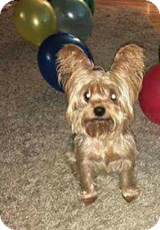Yorkie, Yorkshire Terrier Mix Dog for adoption in Warsaw, Indiana - Dublin