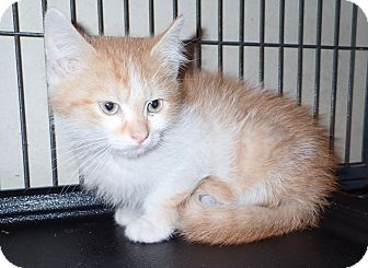 Domestic Shorthair Kitten for adoption in North Wilkesboro, North Carolina - Neptune