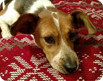 Beagle/Mixed Breed (Medium) Mix Dog for adoption in Huntsville, Alabama - Maci