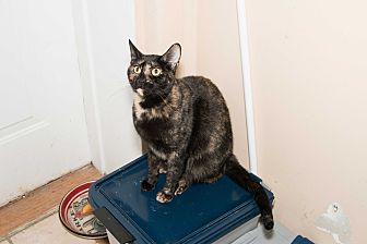 Domestic Shorthair Cat for adoption in Chicago, Illinois - Jewel