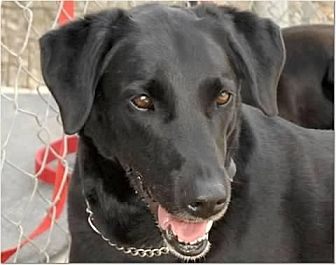 Labrador Retriever Mix Dog for adoption in Crossville, Tennessee - Faith