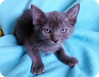 Russian Blue Kitten for adoption in Spring Valley, New York - Cannelloni
