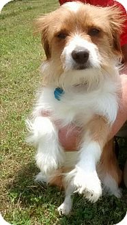 Jack Russell Terrier/Pomeranian Mix Dog for adoption in Washington, D.C. - Woody