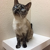 Siamese Cat for adoption in Dublin, California - Virginia