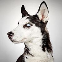 Adopt A Pet :: Harris - New York, NY