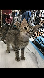 Domestic Shorthair Kitten for adoption in Old Bridge, New Jersey - Connor