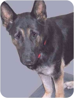 German Shepherd Dog Dog for adoption in Grass Valley, California - Gus