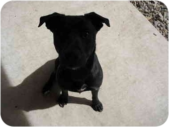 Labrador Retriever/Terrier (Unknown Type, Small) Mix Dog for adoption in South Lake Tahoe, California - Chelsea