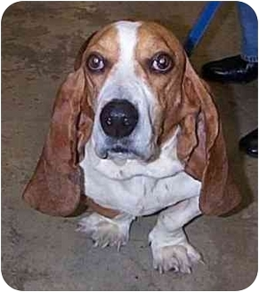 Basset Hound Mix Dog for adoption in Marietta, Georgia - Alfred