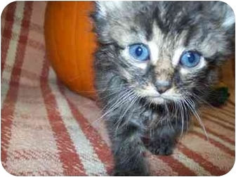 Domestic Longhair Kitten for adoption in Lakewood, Ohio - Angel