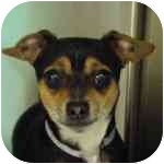 Chihuahua Puppy for adoption in Long Beach, New York - Baxter