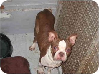 Boston Terrier Dog for adoption in Fort Wayne, Indiana - Ruby Jane
