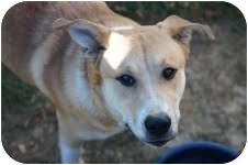 Labrador Retriever Mix Dog for adoption in Staunton, Virginia - Homer