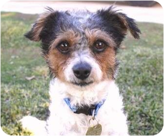 Parson Russell Terrier/Fox Terrier (Wirehaired) Mix Dog for adoption in Los Angeles, California - Archie